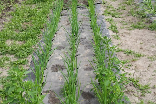 <p>Walki's new mulch product, Agripap, is the only solution on the market that is entirely biodegradable. © Walki</p>